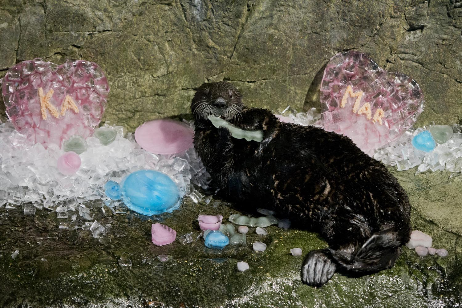 Shedd Aquarium's Otters Celebrate Valentine's Day with Icy Treats and More 4