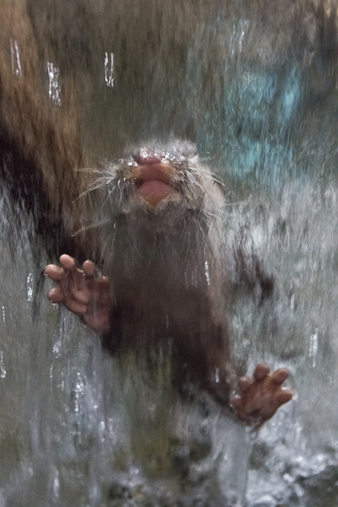 Otter Leans into the Waterfall on the Window 1