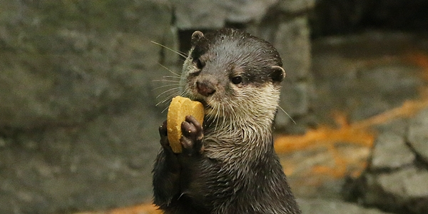 Otter Gets a Heart-Shaped Treat 3