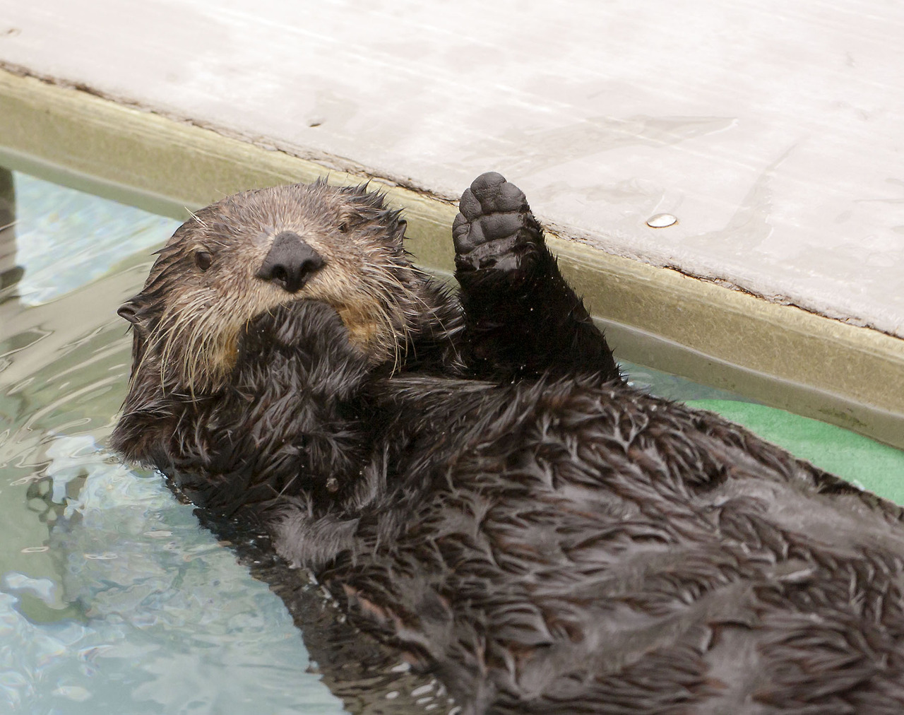 Sea Otter Waves Hello