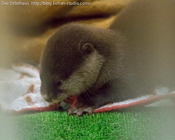 Otter Pup Noms a Tasty Blanket