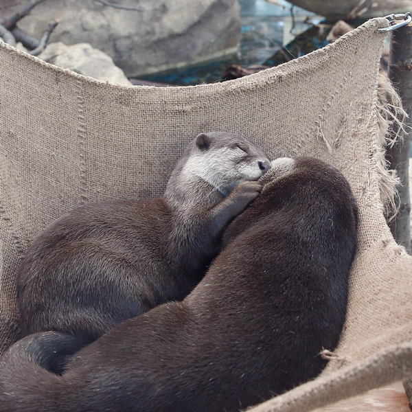 Otters Have a Sweet, Cuddly Nap
