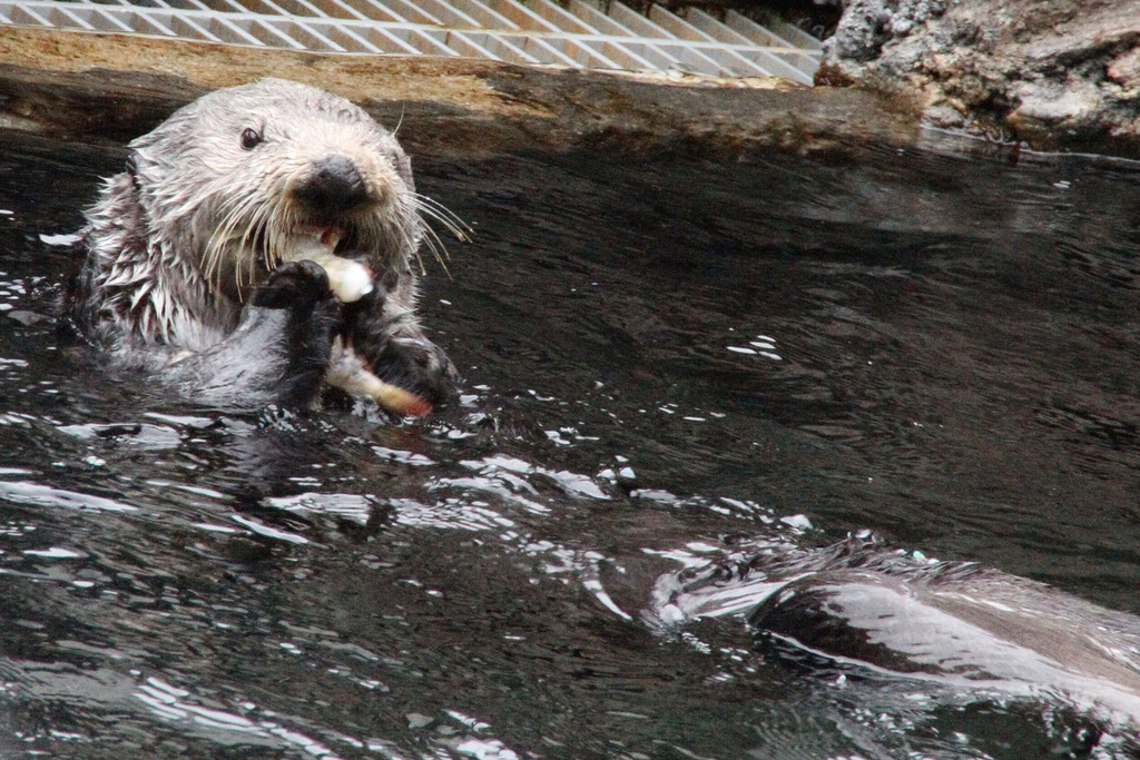 Sea Otter Happily Noms a Snack