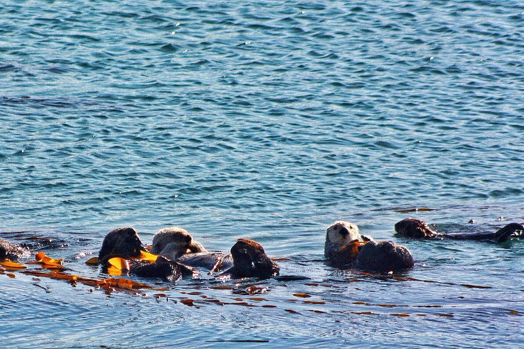 Only One Sea Otter Seems to Notice the Photographer