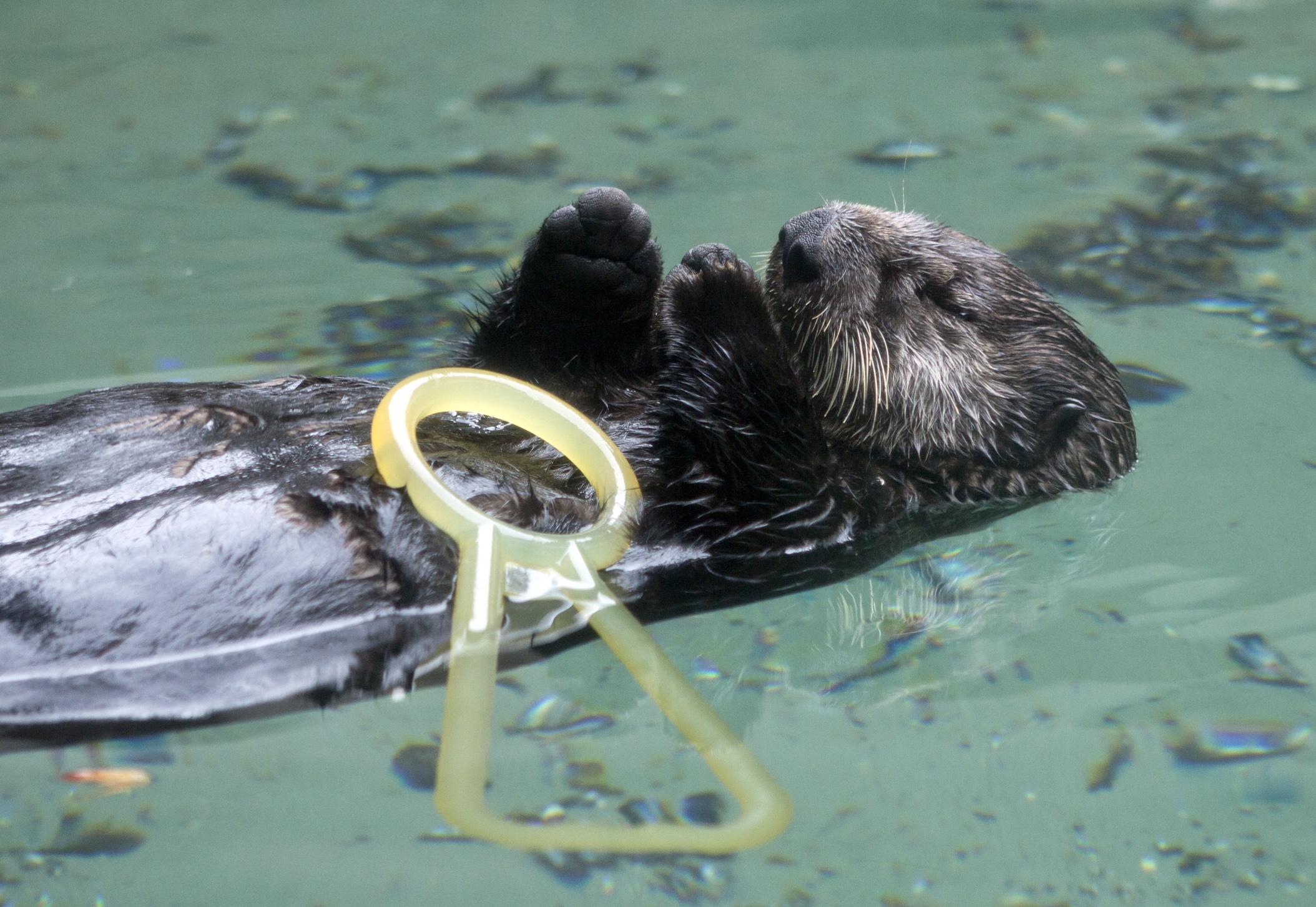 Little Sea Otter Sekiu Falls Asleep and Drops Her Toy