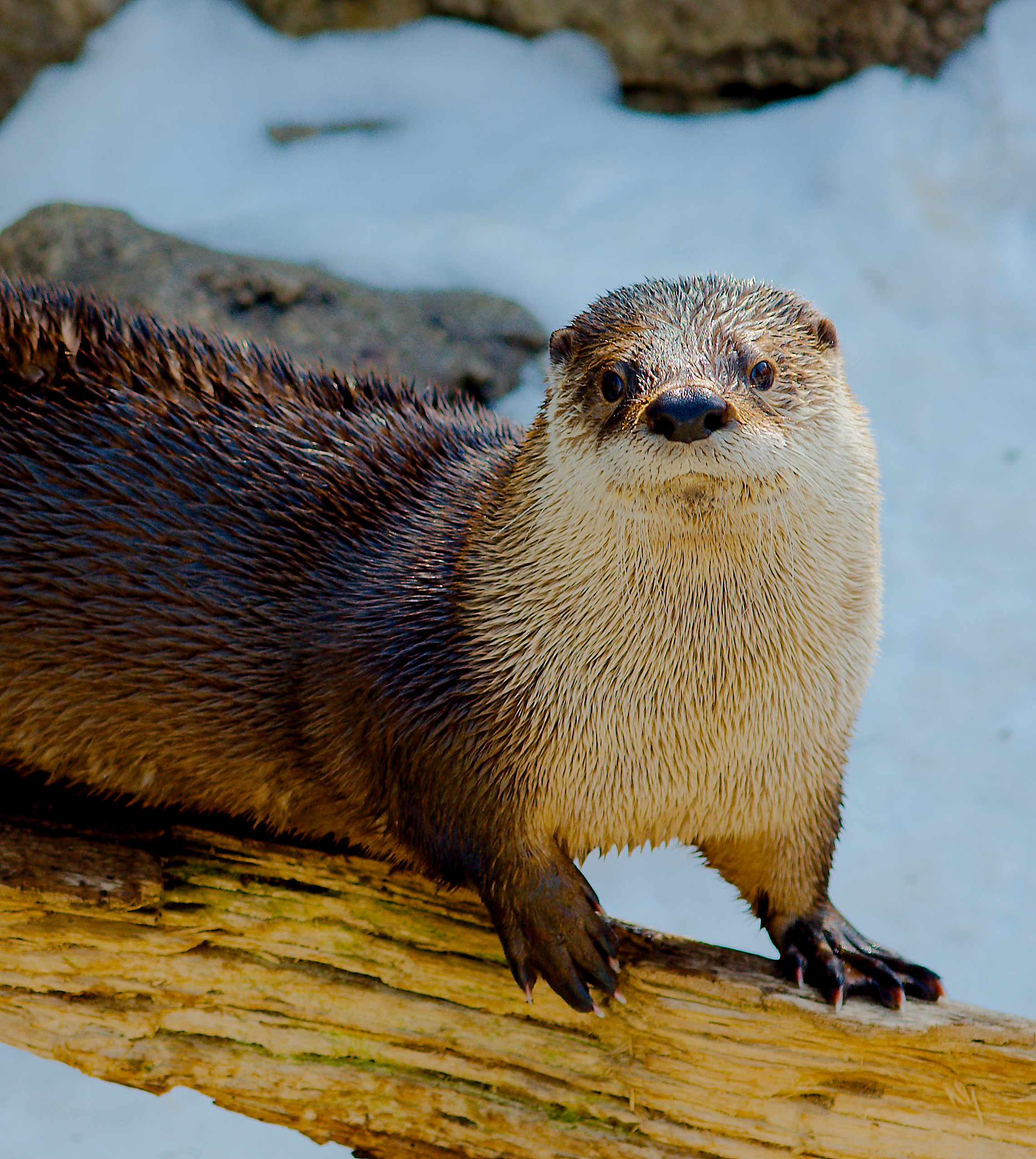 Otter Poses for Her Portrait While Balancing on a Log