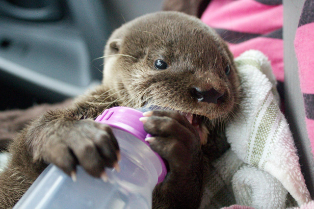 Rescued Baby River Otter Nino from Costa Rica 1