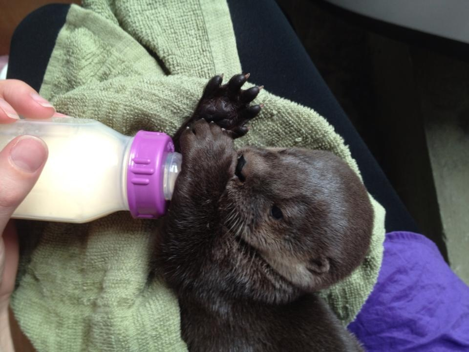 Rescued Baby River Otter Nino from Costa Rica 3
