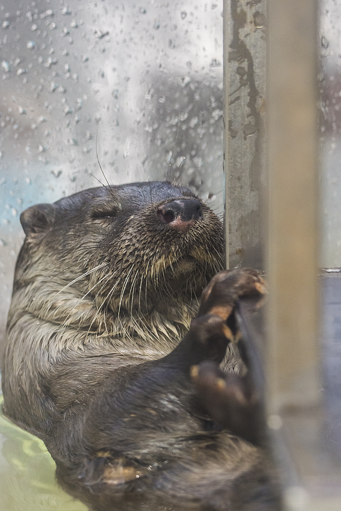 Sleepy Otter Hangs onto the Windowsill So He Doesn't Float Away While He Snoozes
