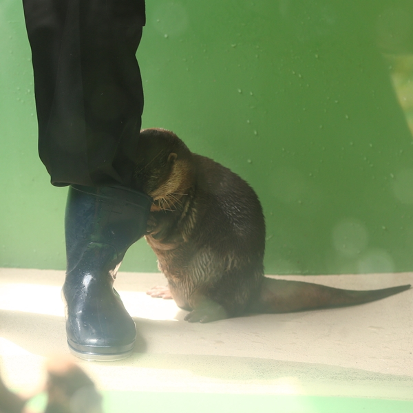 Otter Looks for a Fishy Treat in the Keeper's Boot
