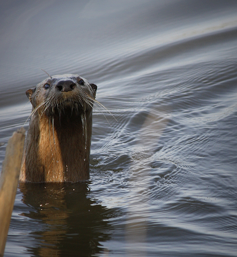 Otter Pops Up from the Still Water