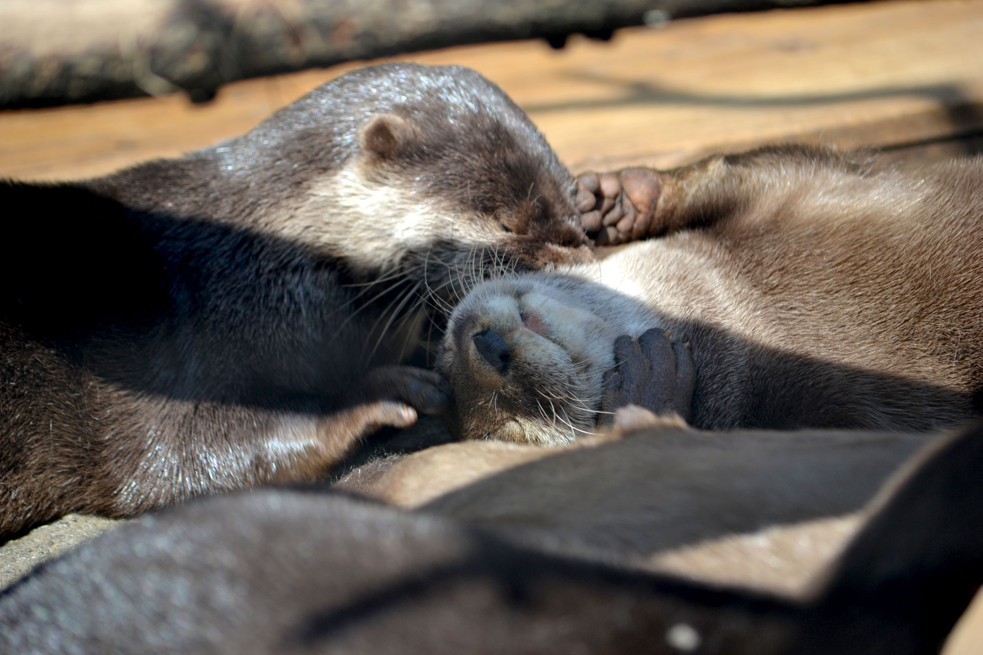 Otter Sweetly Nuzzles Her Friend