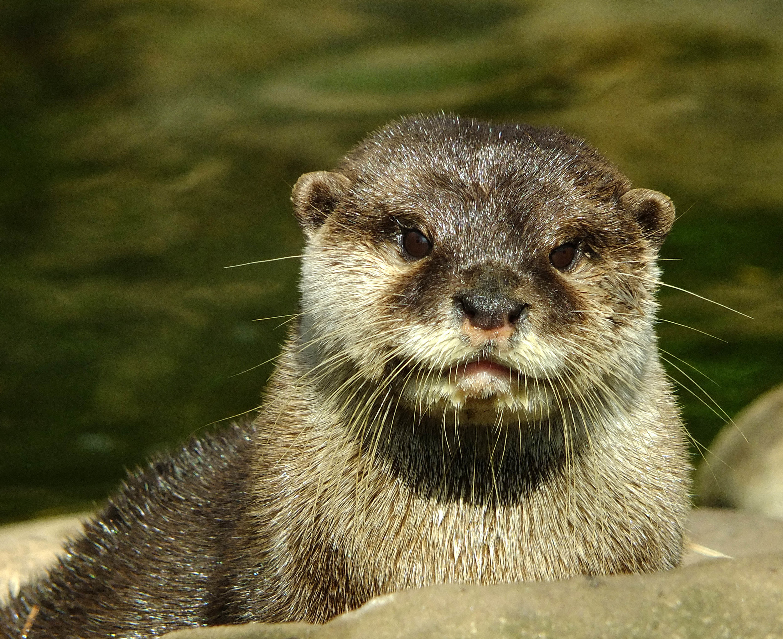 Another Cute Otter Portrait