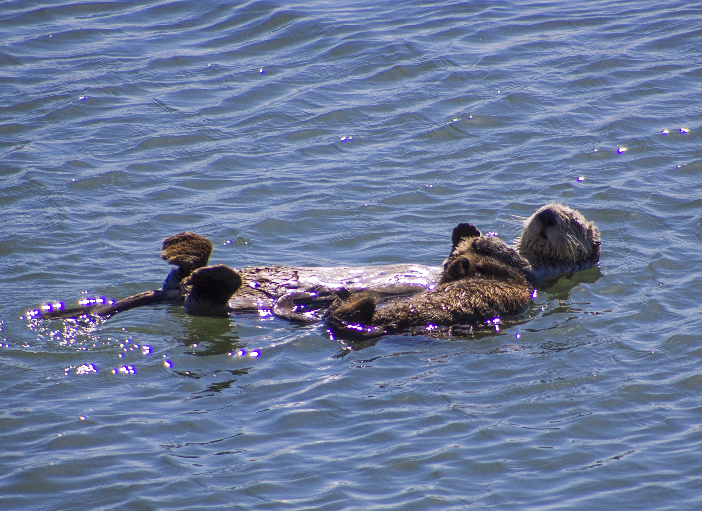 Sea Otter Mum and Pup Float Together Peacefully