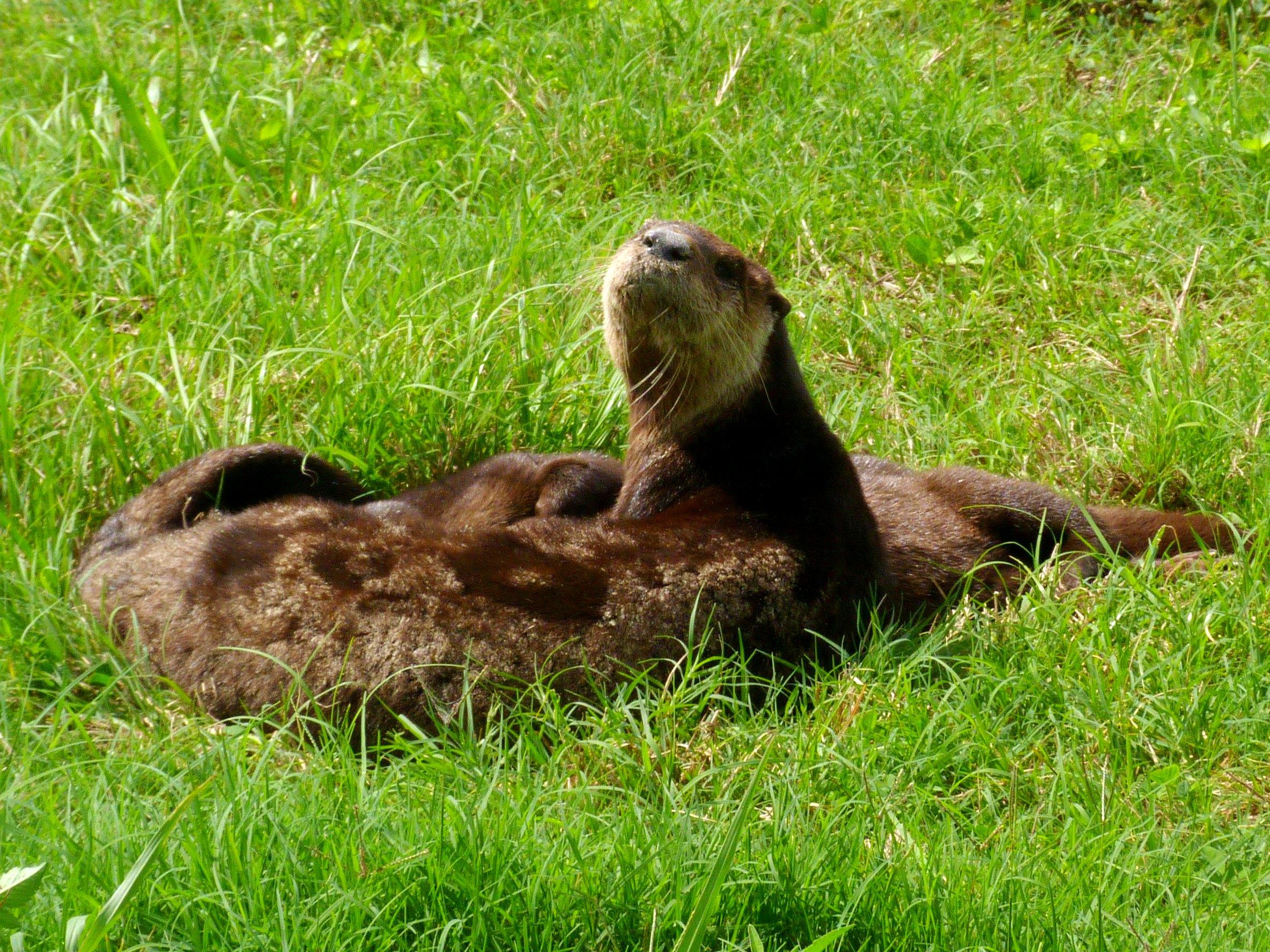 Sharp-Eared Mother Otter Hears the Photographer's Shutter Close