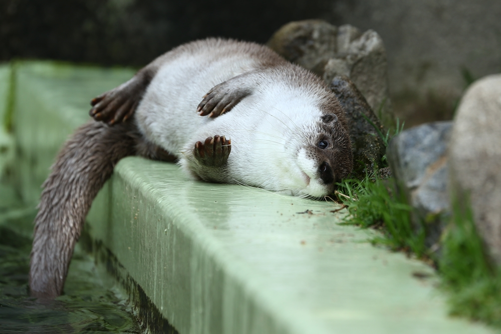 Otter Relaxes on the Pool's Edge