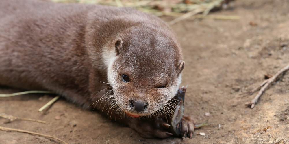 Otter Winks at the Camera