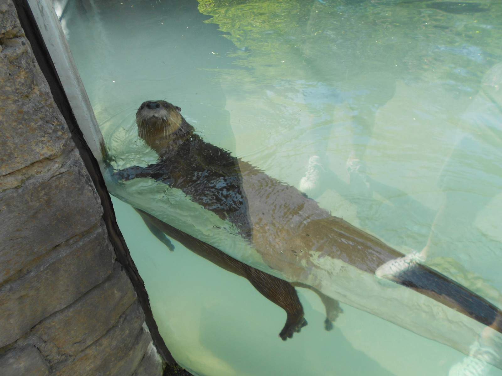 Otter Looks at the Humans Who Are Looking at Him 2