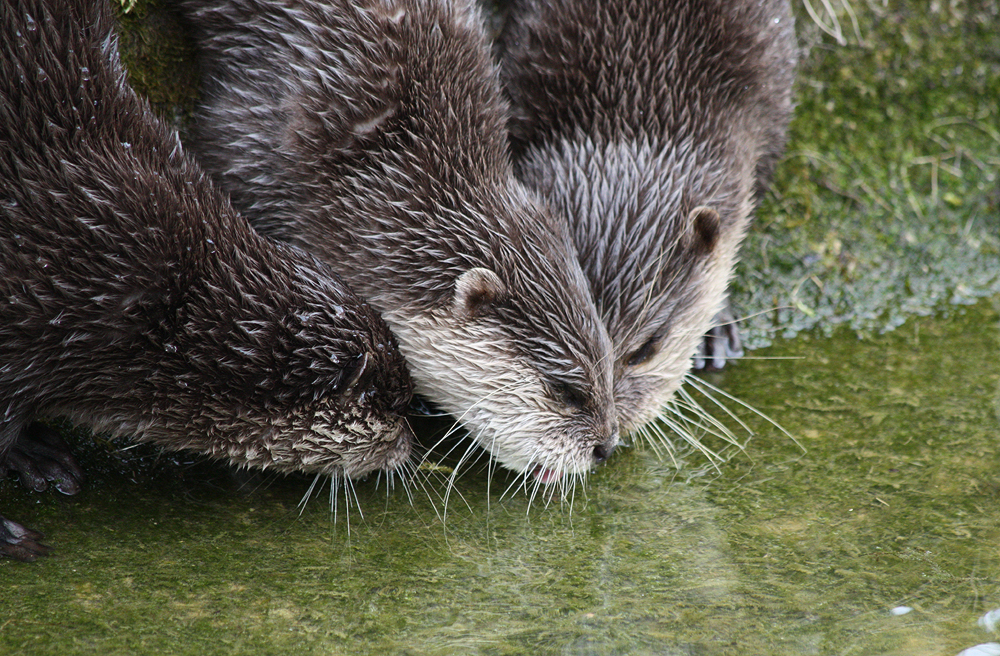 Three Otters Want Water from the Same Spot