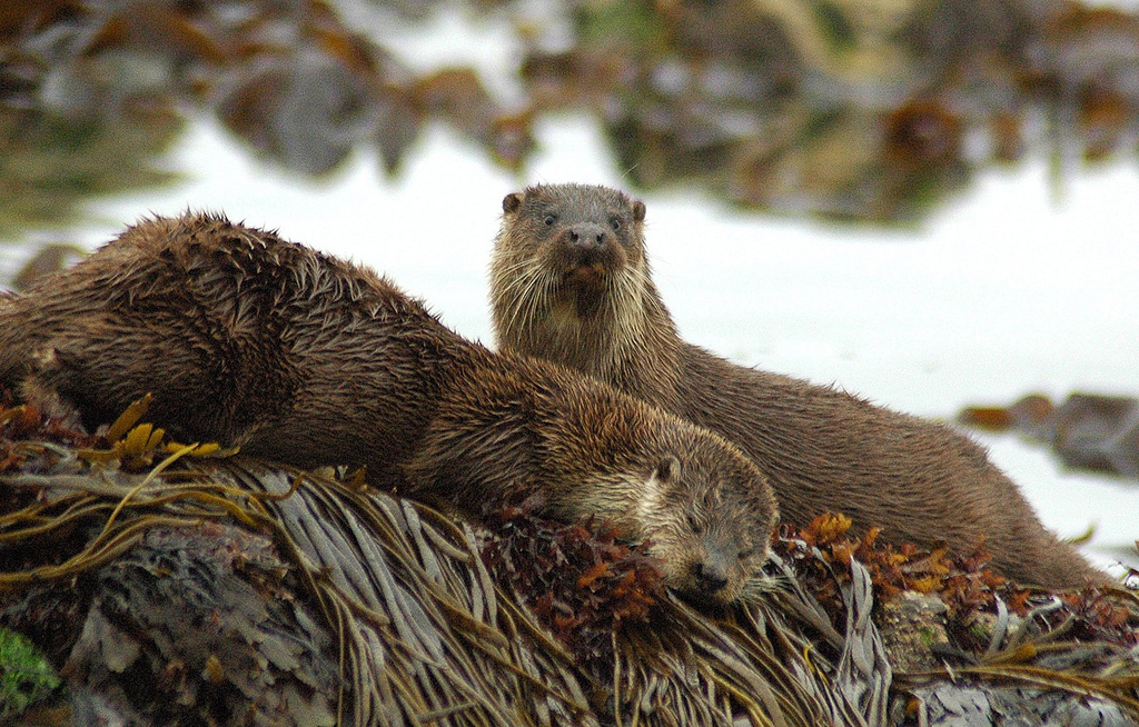 One Otter Plays Lookout As the Other Naps on a Seaweed Bed