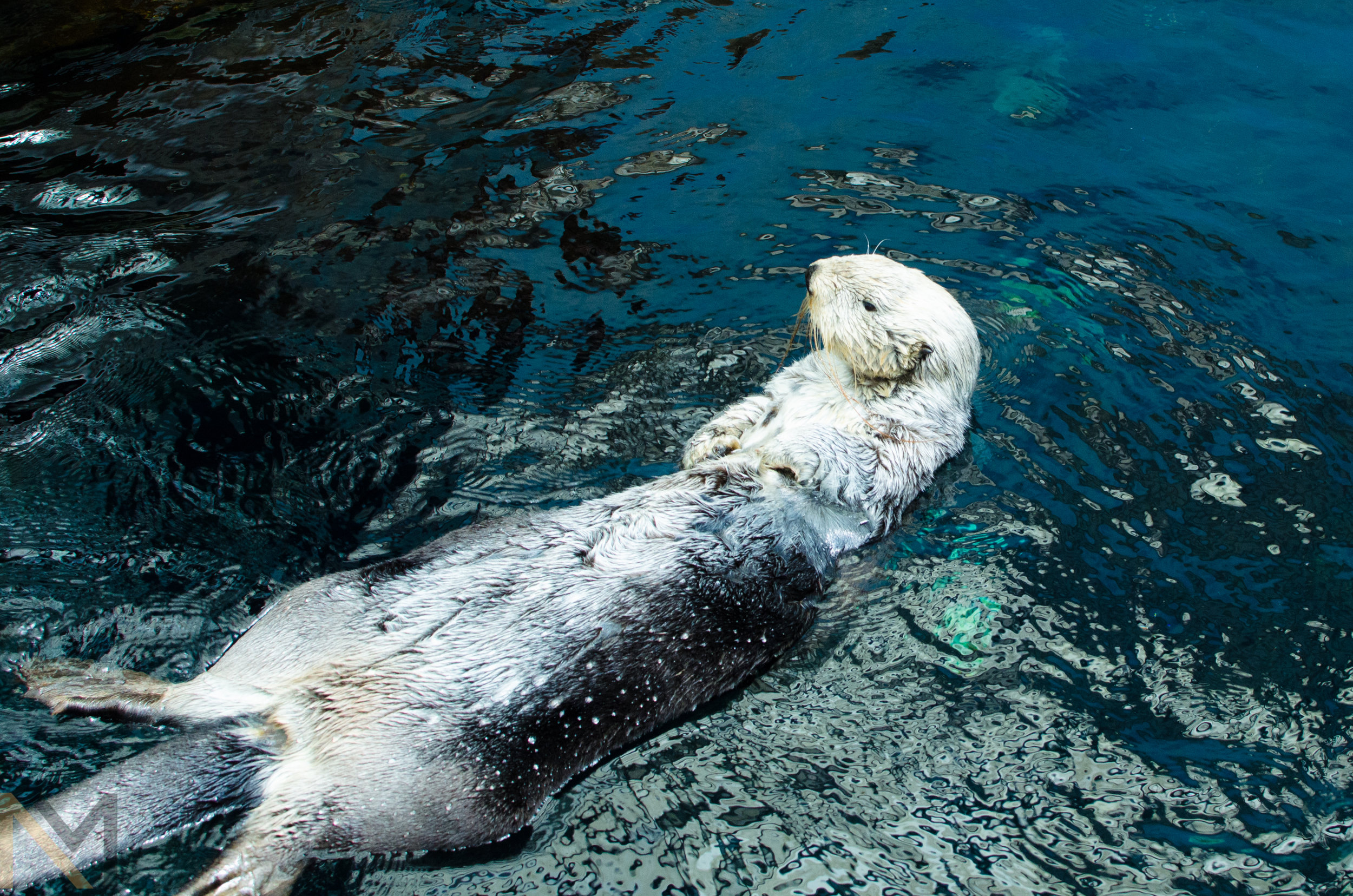 Floating Sea Otter Looks Long
