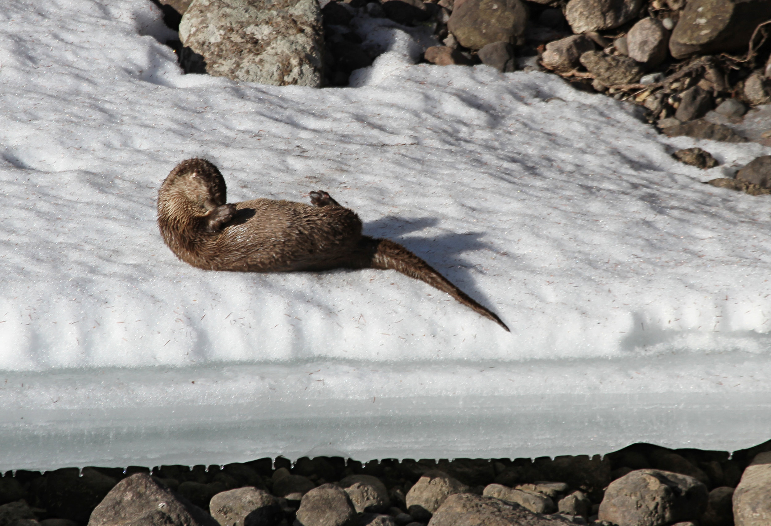 Otter Grooms Herself on a Snowy Bank