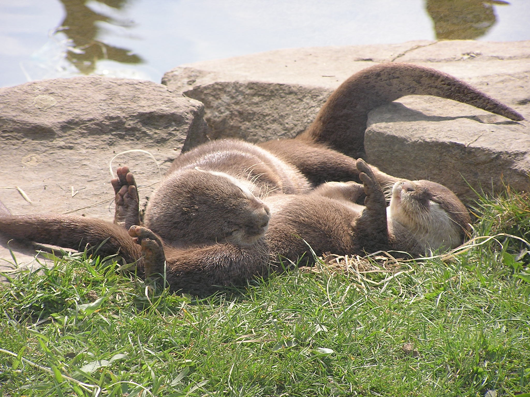 Otters Sunbathe and Nap