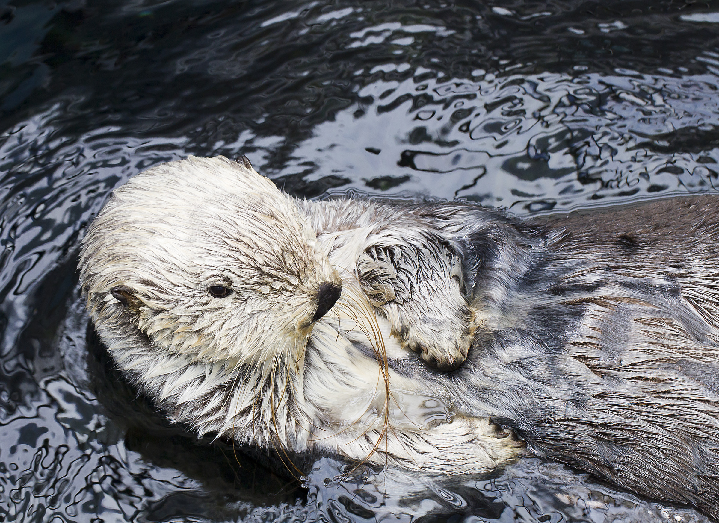 Check Out This Sea Otter's Long Whiskers