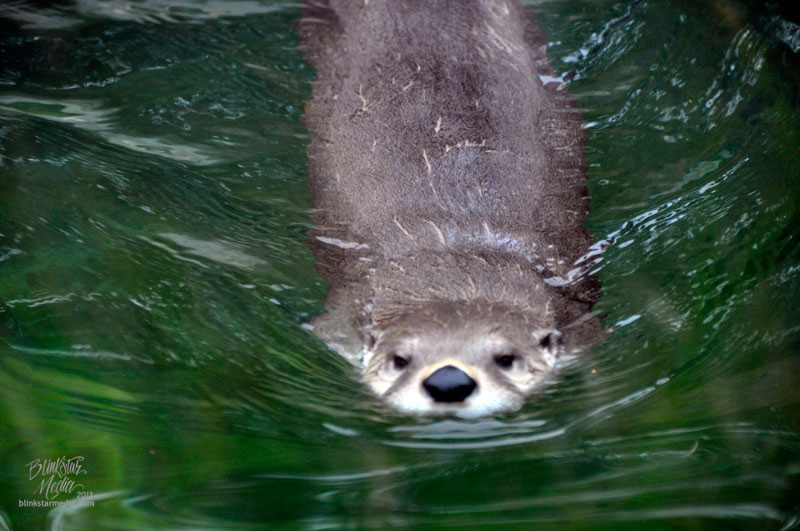 Otter Breaks through the Water