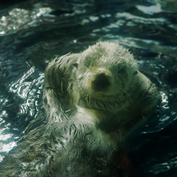 Sea Otter Takes a Cheeky Pose and Winks at the Camera