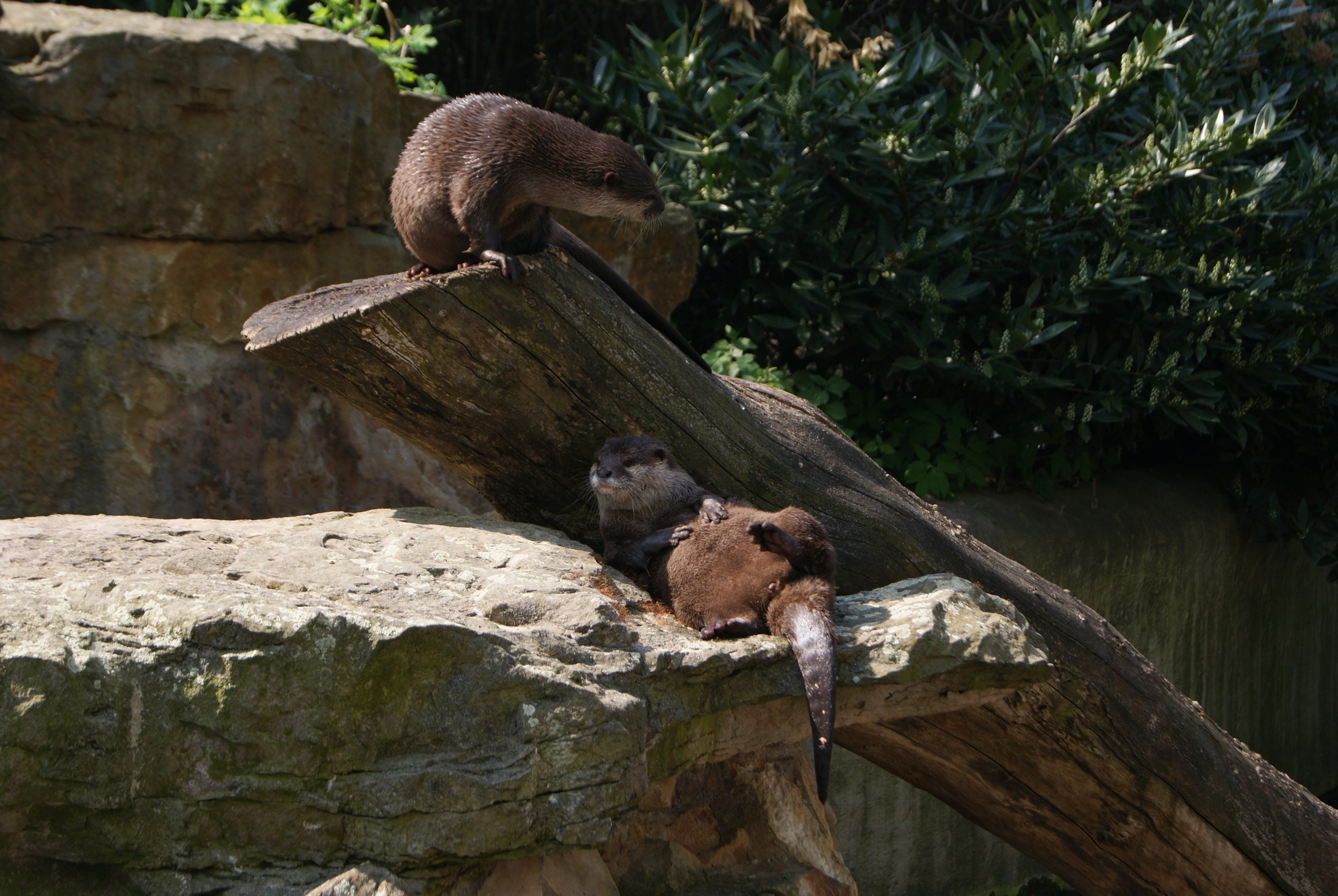 Just Another Day in the Life of Otters: A Bit of Lounging, a Bit of Climbing