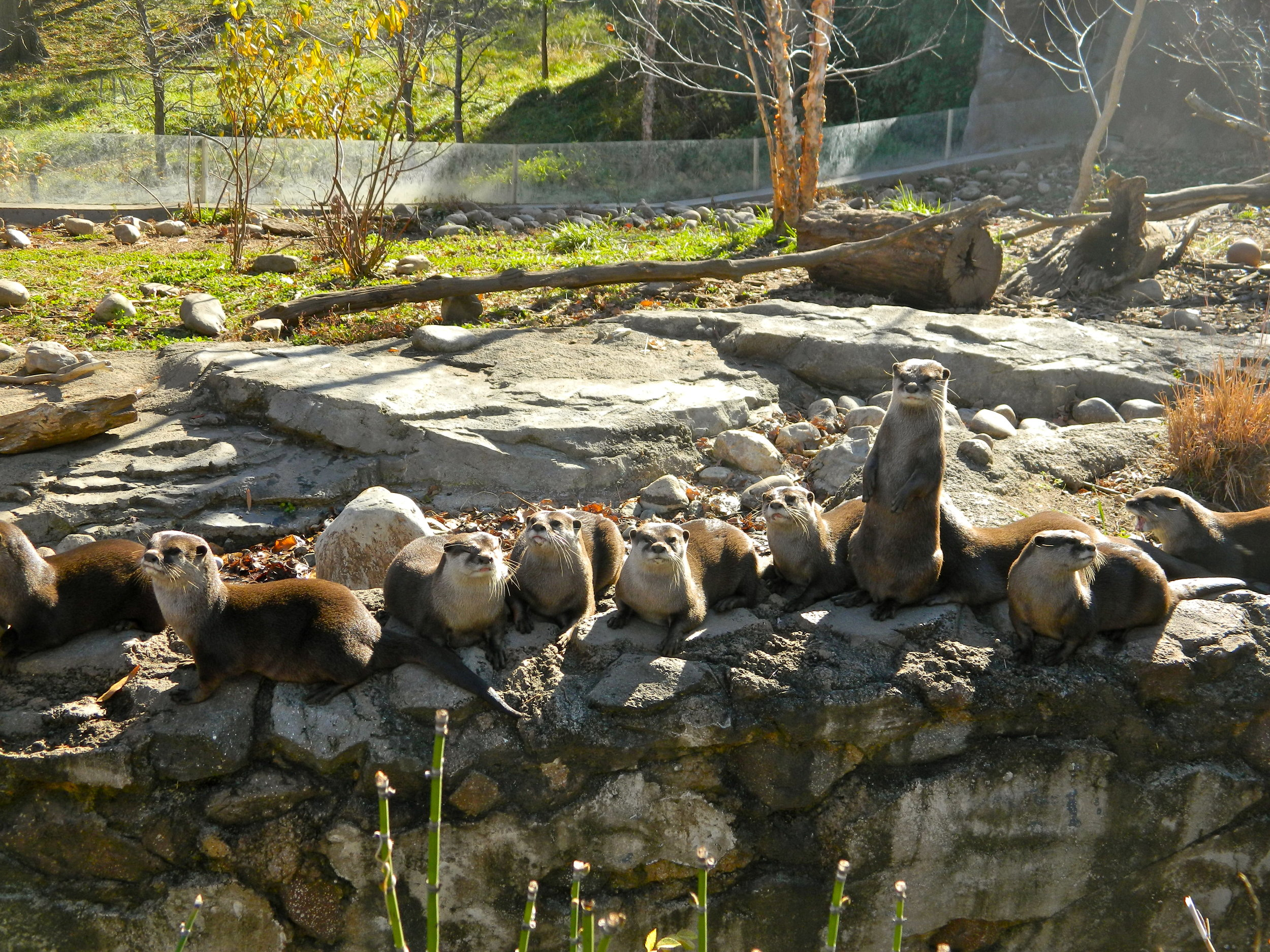 Otters Make a Receiving Line When Guests Arrive 1