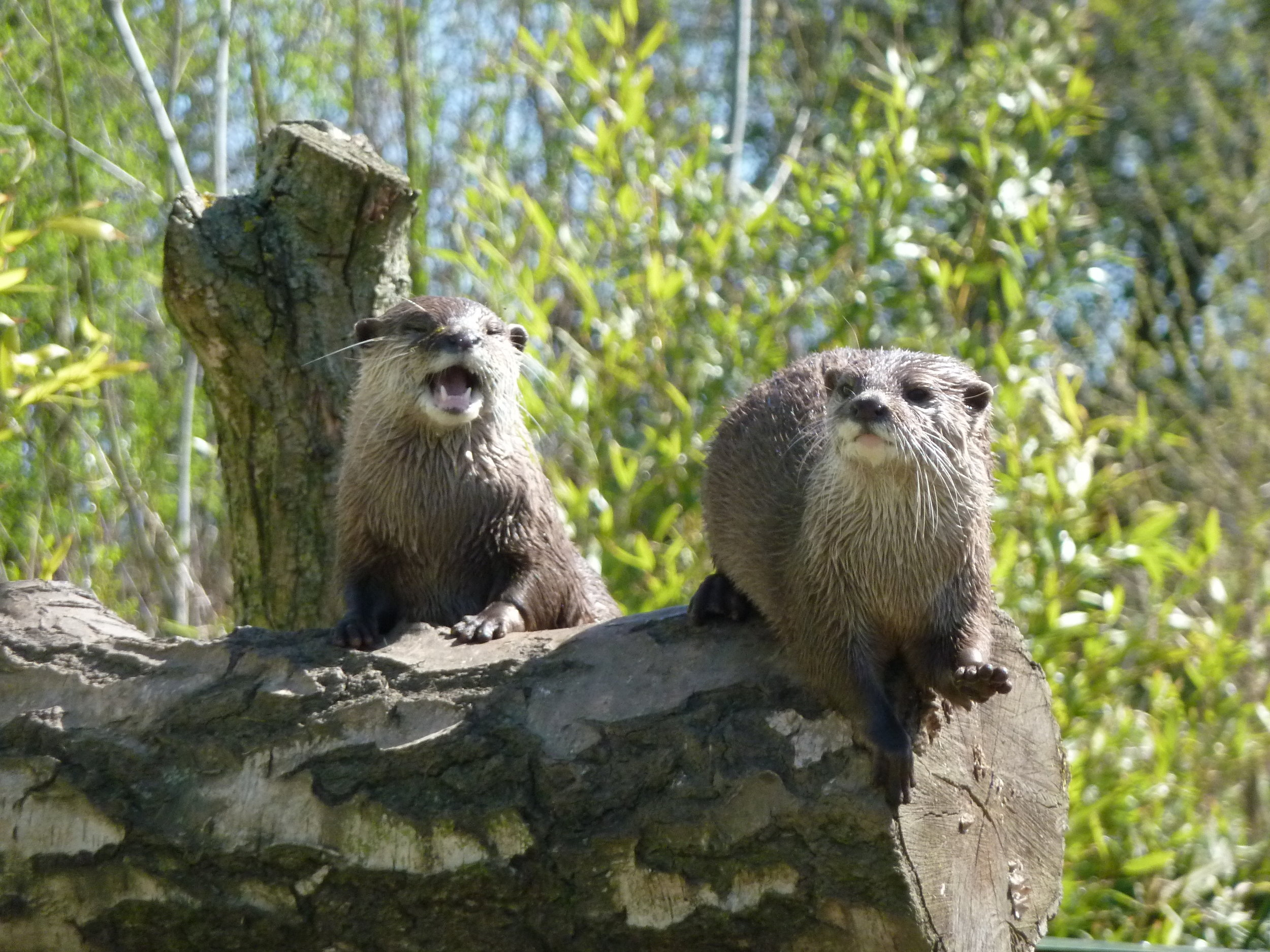 One Otter Sings While the Other Plays the Log Bongo