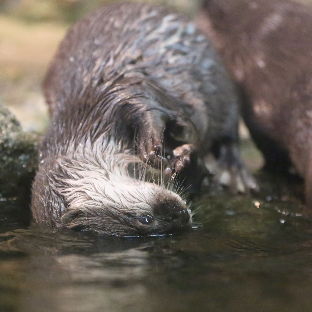 Otter Wants Only the Top of Her Head to Get Wet