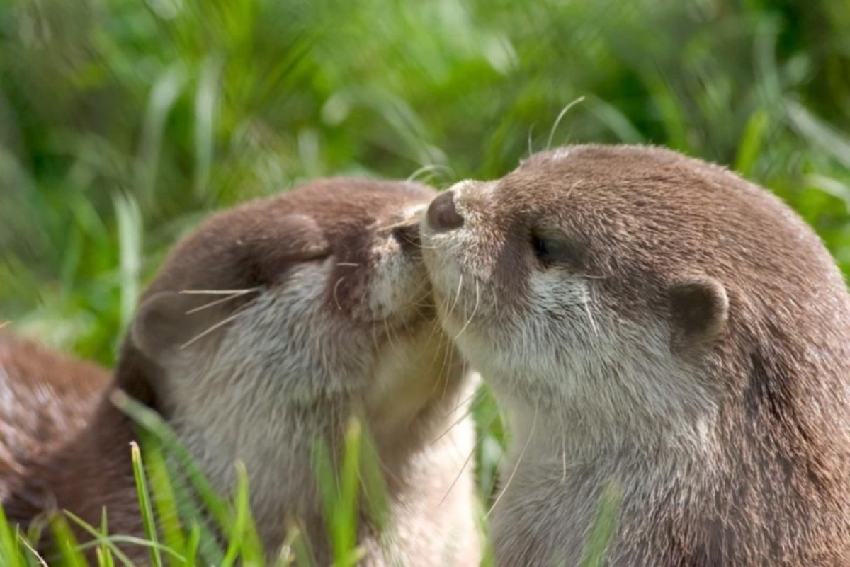 Otters Share a Sweet Kiss