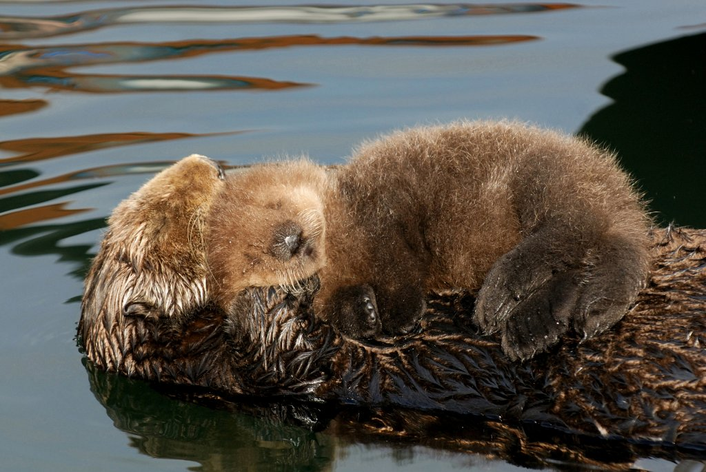 Otter Pup Curls Up on Mum's Belly