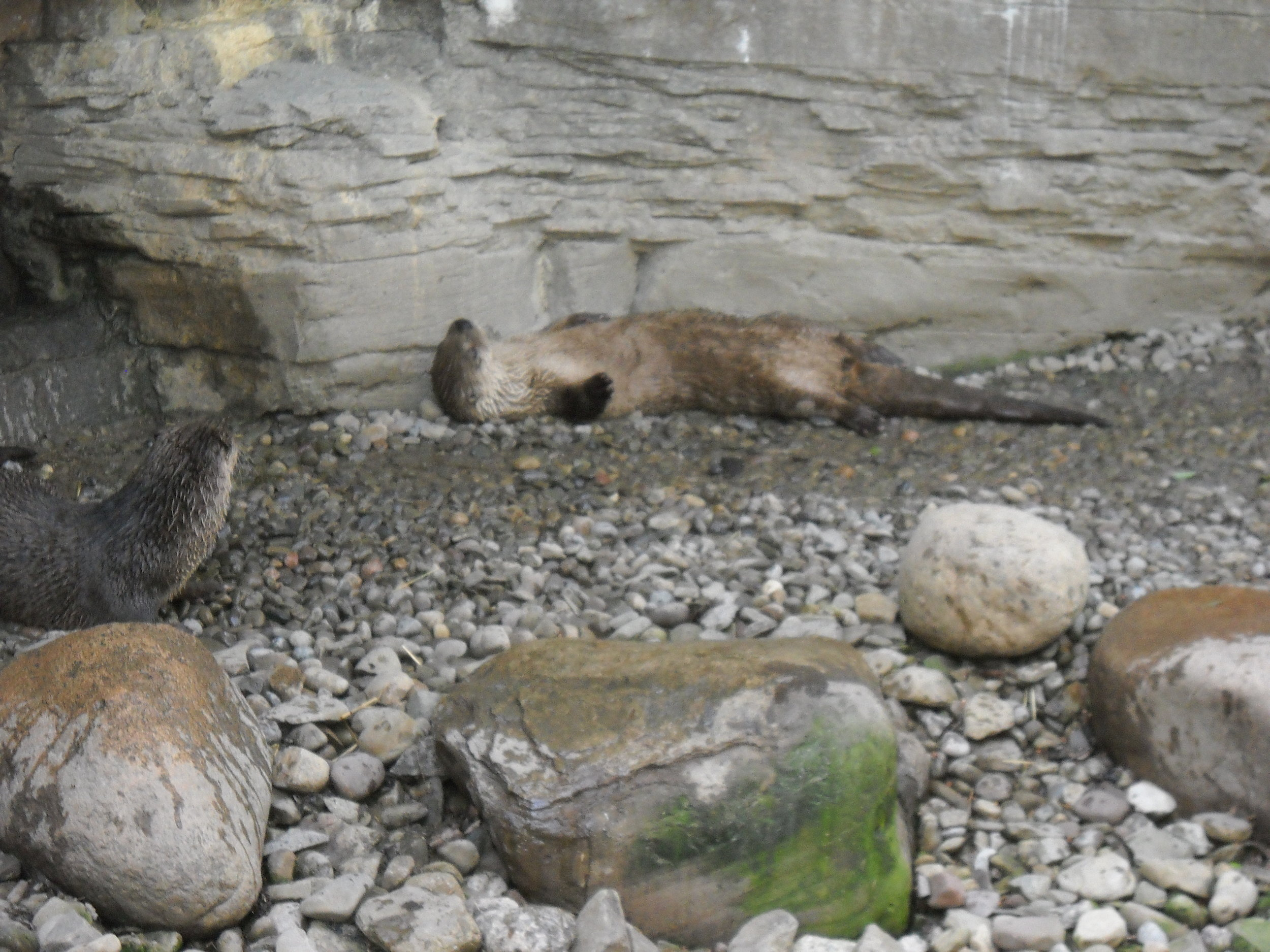 Otter Can Get Comfy on a Bed of Stones 2