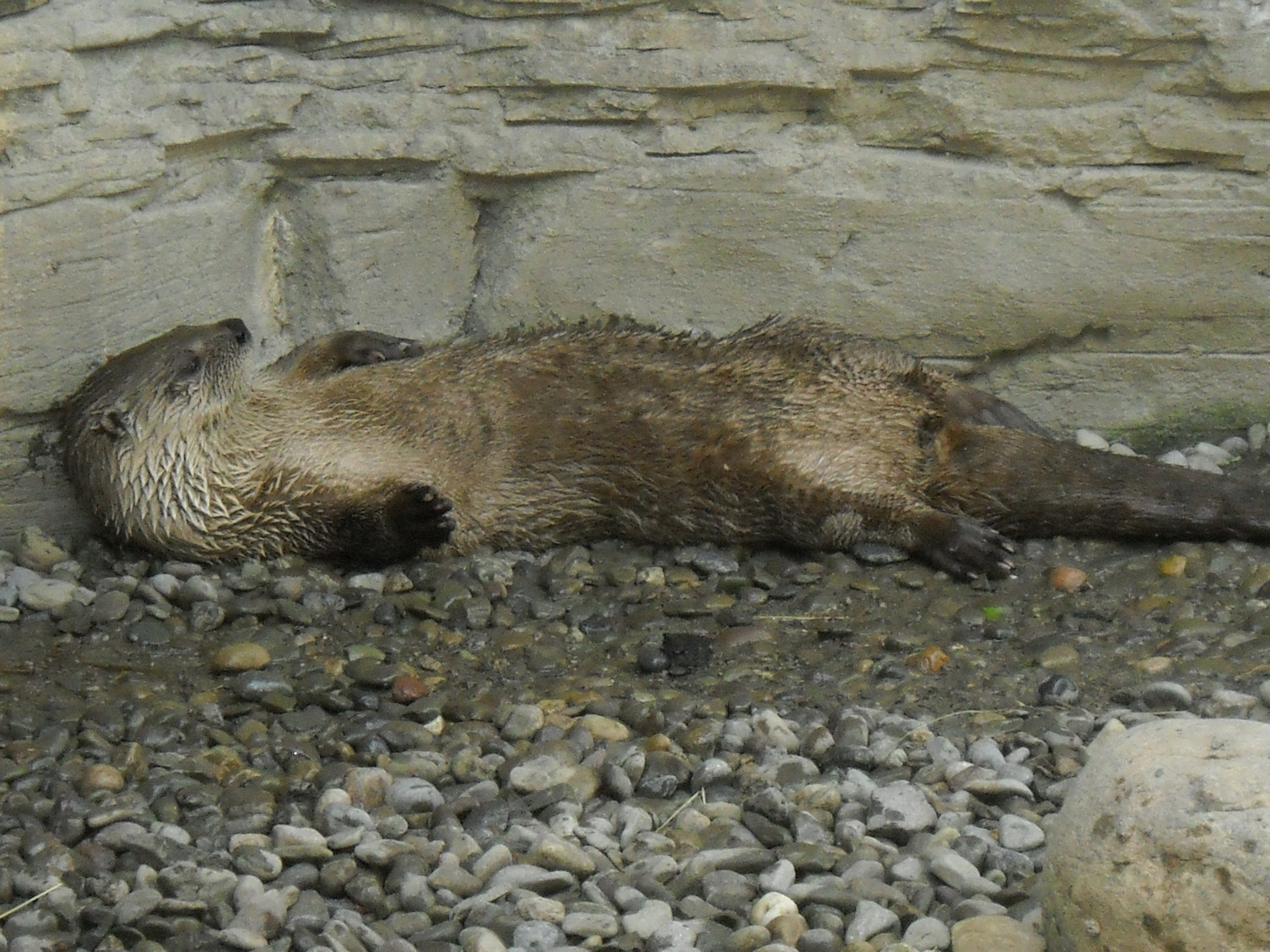 Otter Can Get Comfy on a Bed of Stones 1