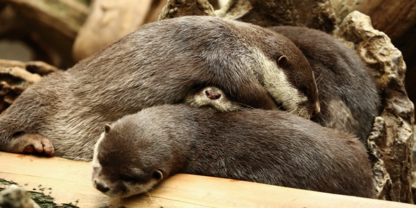 Otters Pile Up for a Nap