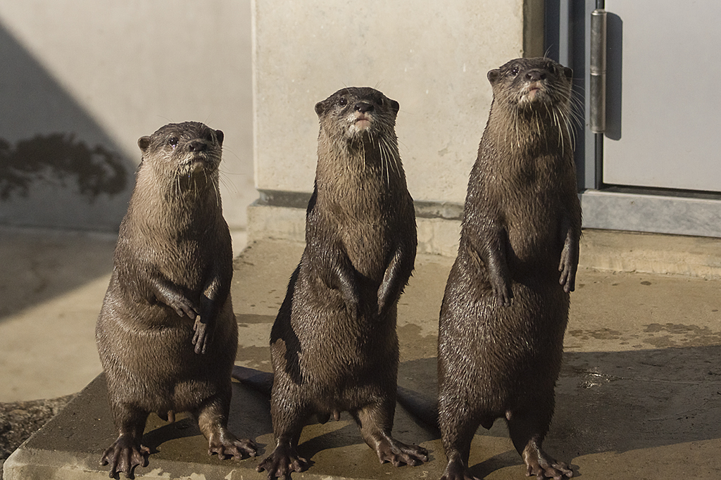 Otters Line Up in Ascending Order