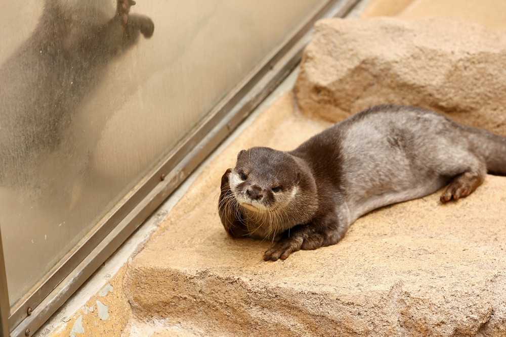 Otter Is Lost in Thought 1