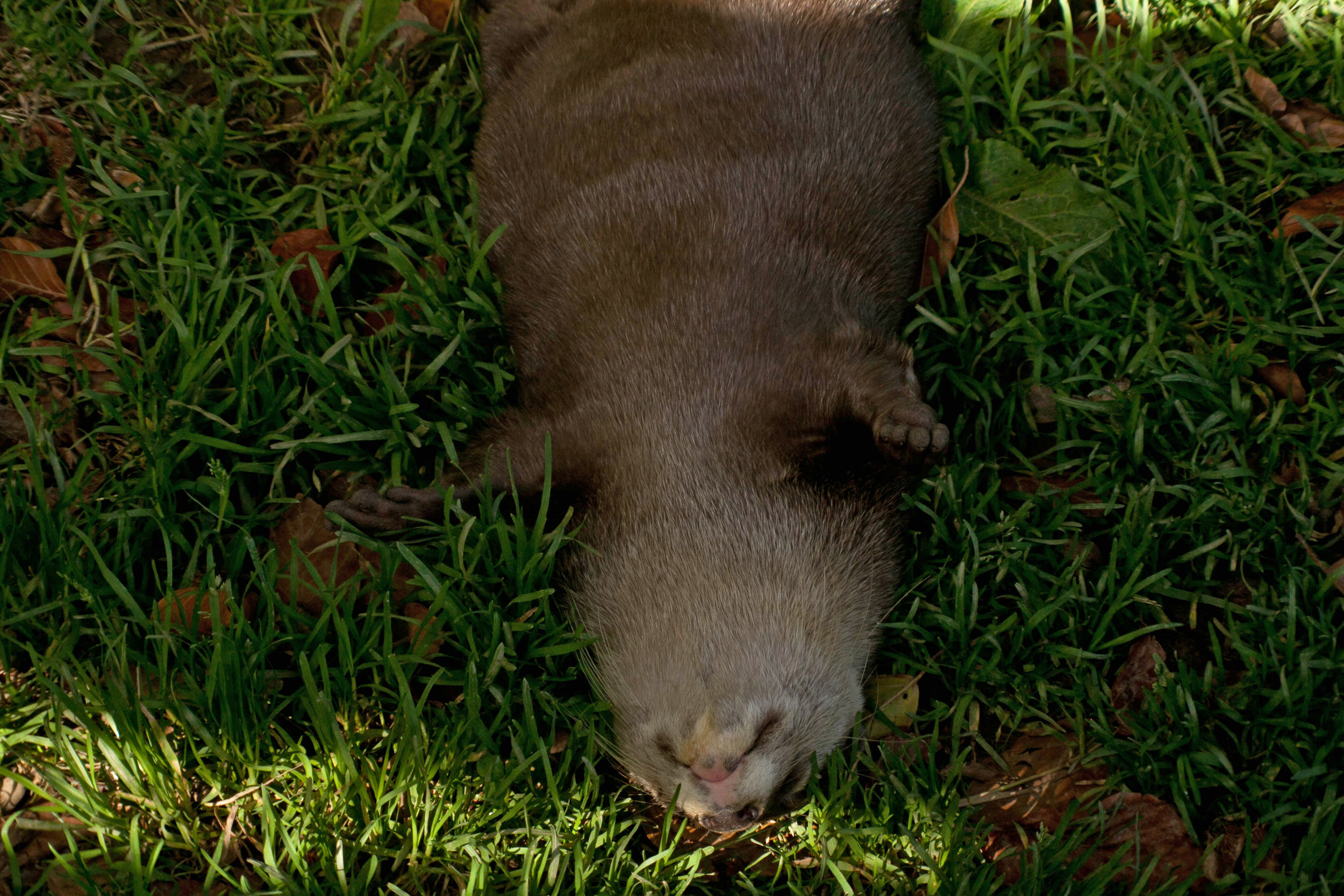 Otter Gets Some Serious Relaxing Done in the Grass