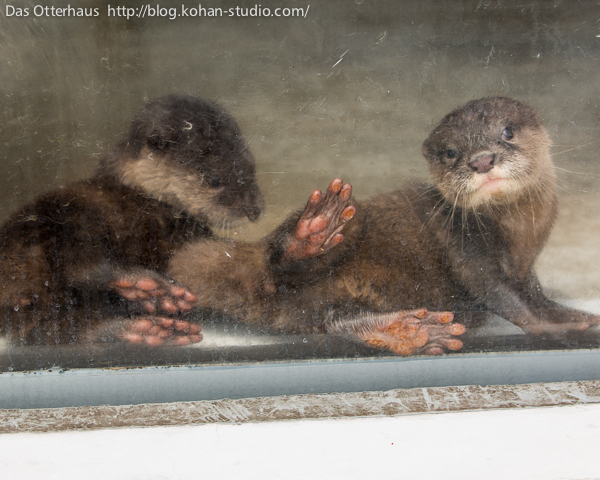 Otter Pup Shows Off Her Feet