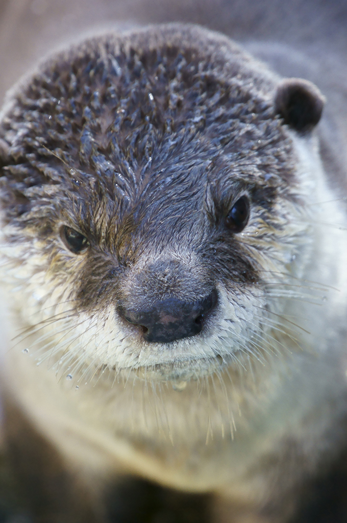 Otter, You Have a Drop of Water on Your Chin - And Your Whiskers! 2
