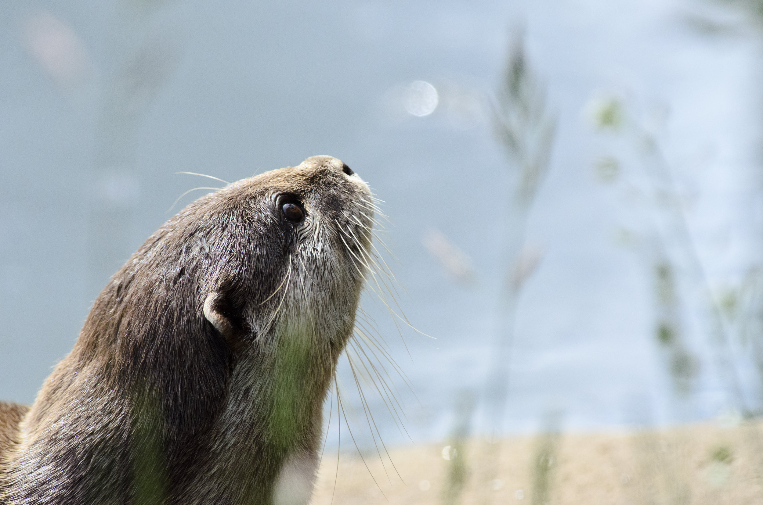 Otter Gazes Upward