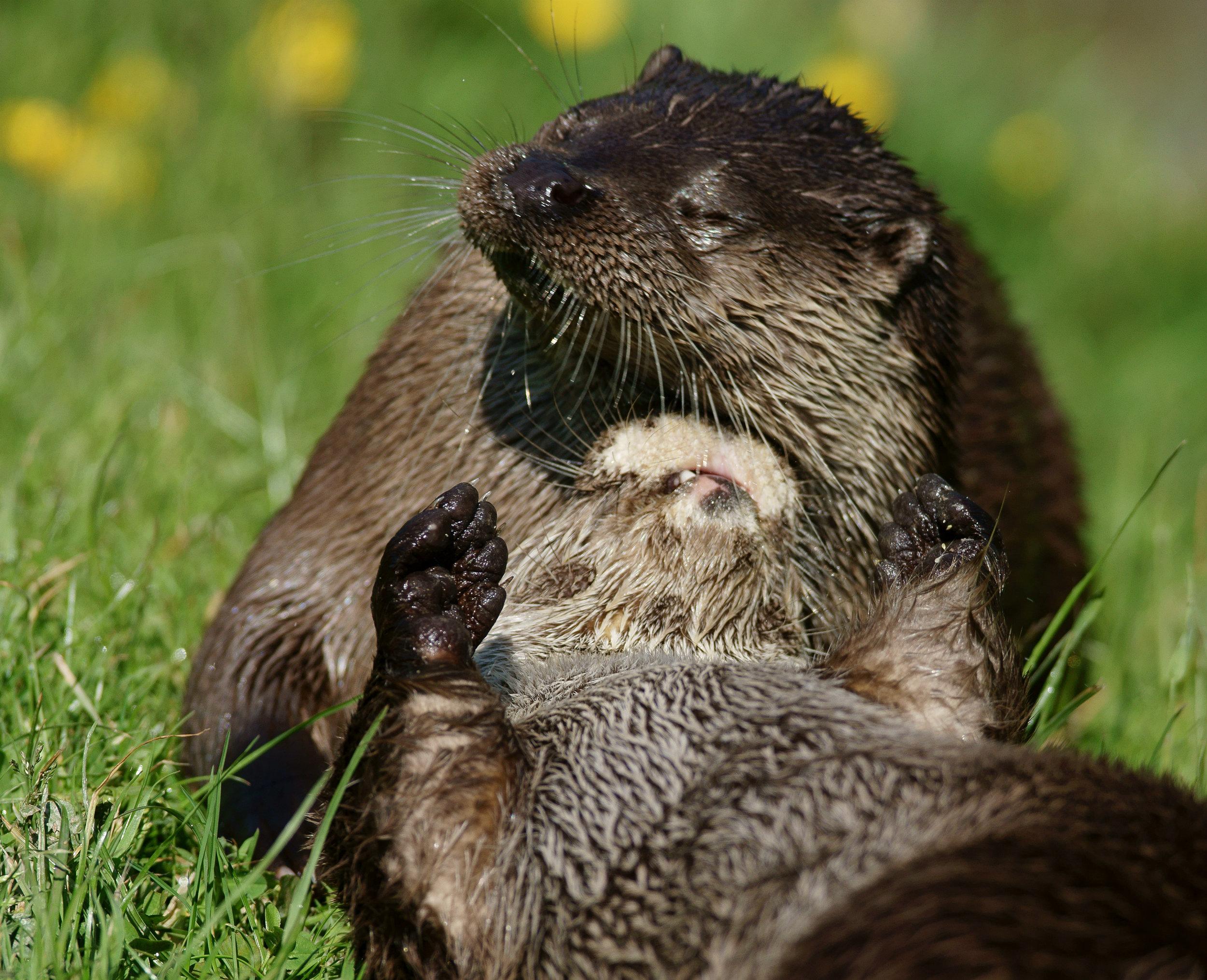 Otter Gives Her Friend a Nice, Relaxing Scalp Massage