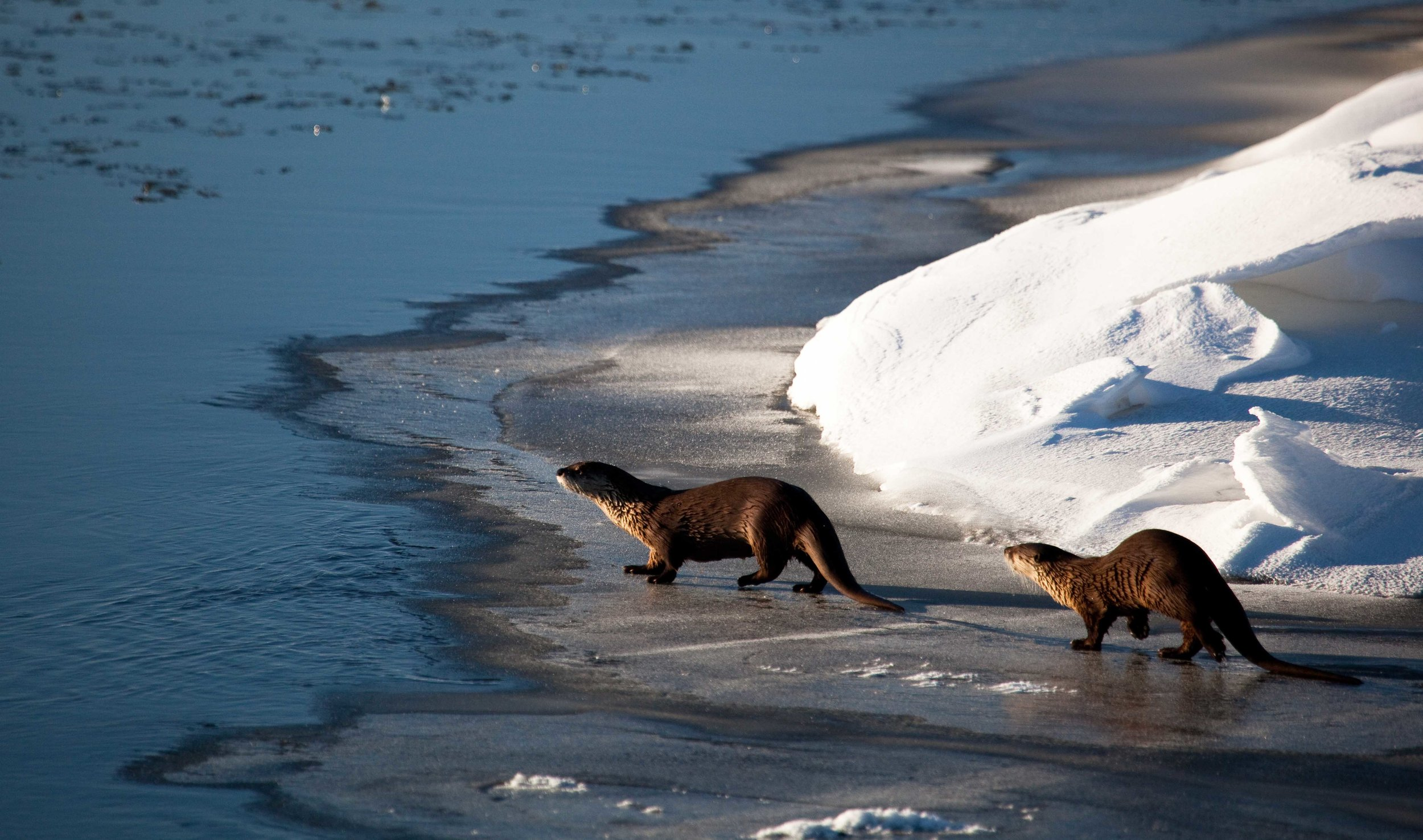 Otters Walk Along the Icy Water's Edge