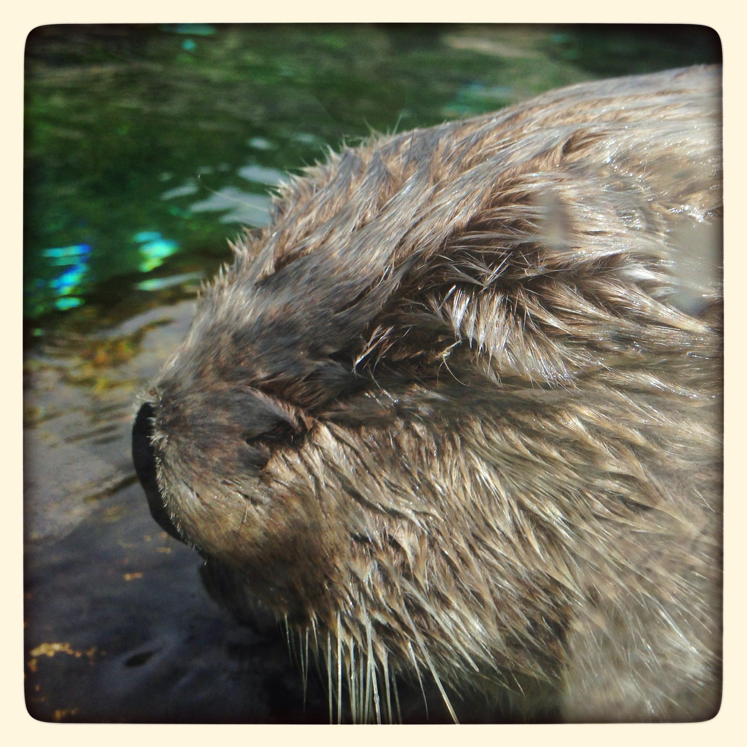 Closeup of Sleeping Sea Otter