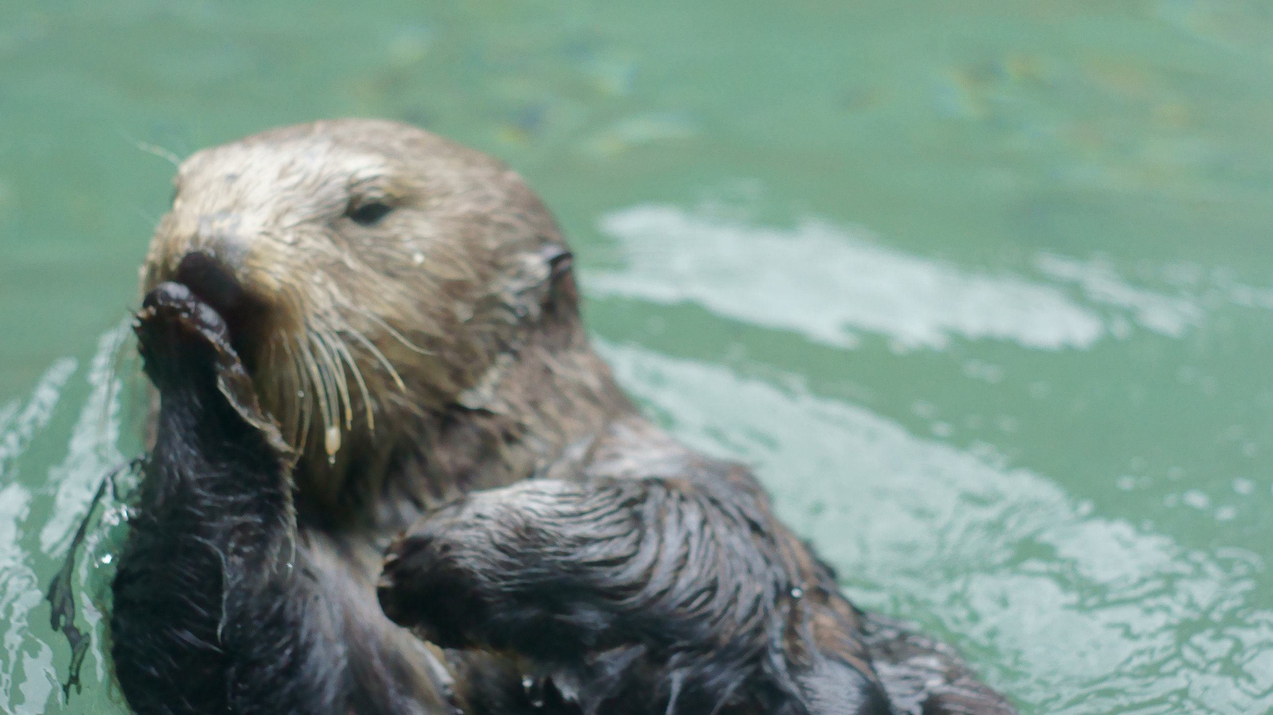 Sea Otter Blows Kisses to All Her Fans at the Seattle Aquarium