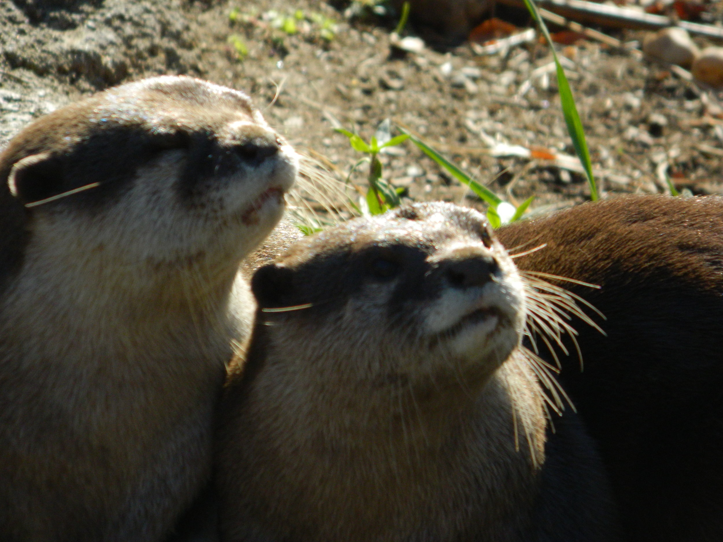 Something Has Caught Otters' Attention